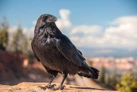 Image result for raven