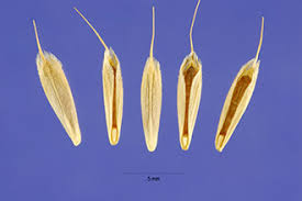 Plants Profile for Bromus hordeaceus (soft brome)
