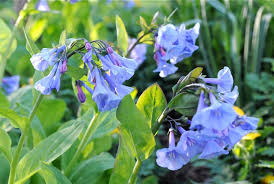 Image result for virginia bluebell