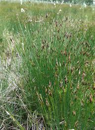 Schoenus (plant) - Wikipedia