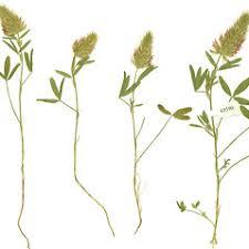 Trifolium purpureum (purple clover): Go Botany