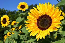<b>Sunflowers</b>: How to Plant, Grow, and Care for <b>Sunflower</b> Plants | The ...