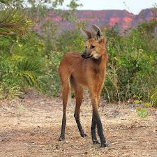 The Stilted Fox, a.k.a. The Maned Wolf. : pics via Relatably.com