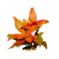 Купить аквариумные растения, интернет-магазин <b>растений для</b> ...