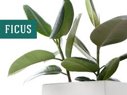 best indoor plant that helps purify air ficus best low light office plants