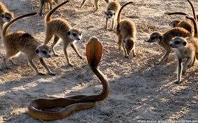 Image result for meerkat fighting scorpions