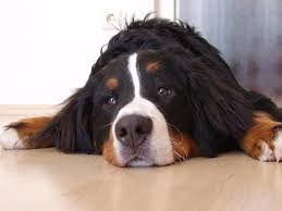 Image result for bernese mountain dog