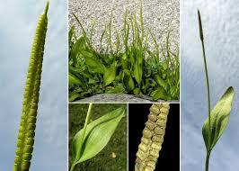 Ophioglossum vulgatum L. - Esploriamo la flora: un progetto per le ...