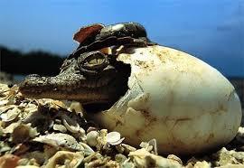 Resultado de imagem para ovos crocodilos