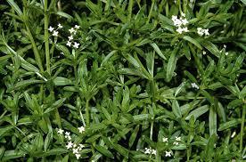 Galium elongatum - Wikipedia