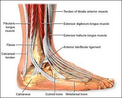 best images of foot structure diagram   foot and ankle anatomy    foot and ankle anatomy