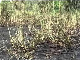 खेत में खडी फसल के लिए चित्र परिणाम