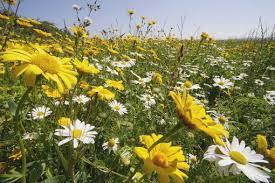 Glebionis segetum - (Chrysanthemum segetum) – Corn Marigold ...