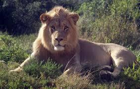 Risultati immagini per leoni a mauritius