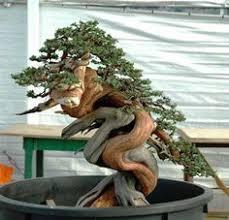 Juniperus comunis: Sandro Segneri demo bonsai www ...
