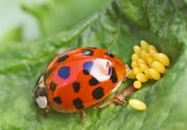 """Résultat de recherche d'images pour """"la coccinelle insecte jolie"""""""