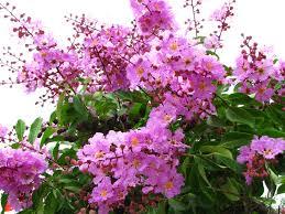 Hình nền những bông hoa bằng lăng tím nở rộ một loài hoa gắn liền với kỷ niệm tuổi học trò được rất nhiều người yêu thích. - 14530hinh-nen-nhung-bong-hoa-bang-lang-tim-no-ro