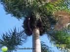coyol palm