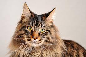 Znalezione obrazy dla zapytania koty rasowe