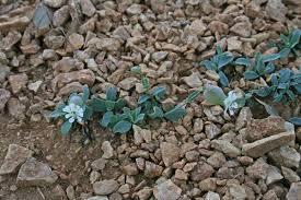 Silene vulgaris subsp. prostrata, flora di Sardegna