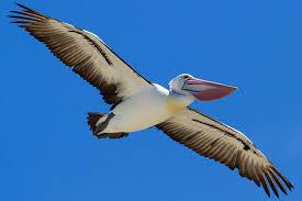 Image result for Australian Pelican Pelecanusconspicillatus