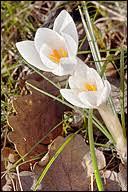 Crocus biflorus ssp. weldenii; Weldeni's Crocus (?)