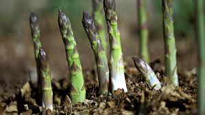 Image result for pictures of asparagus growing