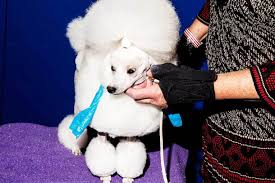 broadly s best photo essays of broadly photos from the hairy underbelly of the westminster dog show