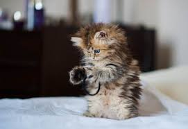 Image result for kucing comel