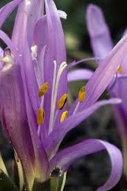 Bulbocodium vernum - Wikipedia