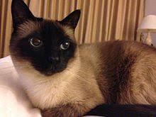 <b>Siamese</b> - <b>Cat</b> Breeds Information
