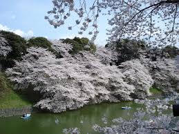 <b>Cherry blossom</b> - Wikipedia