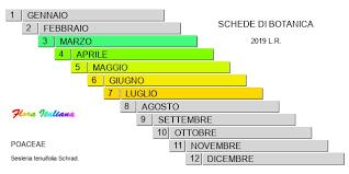 Sesleria tenuifolia [Sesleria a foglie sottili] - Flora Italiana