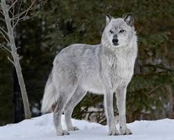 Λύκοι στη Θεσπρωτία κατασπαράσουν κυνηγόσκυλα...