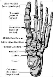 ankle foot bones diagram    ladiesmagz c kle foot bones diagram