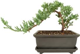 beginner juniper bonsai tree bonsai tree
