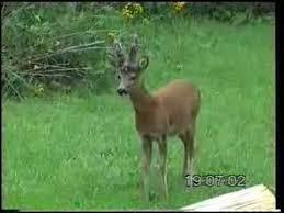 Barking Roe Deer - YouTube