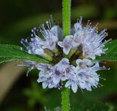Mentha canadensis - Online Virtual Flora of Wisconsin