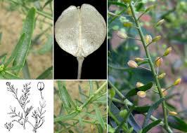 Lepidium ruderale L. - Portale sulla flora delle Saline di Cervia
