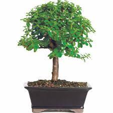 jade bonsai tree bonsai tree for office