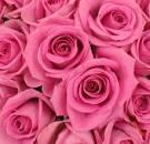 Rose couleur rose