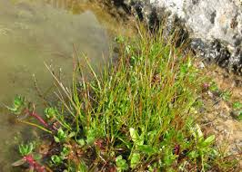 Juncus hybridus (Hybrid Toad Rush) : MaltaWildPlants.com - the ...