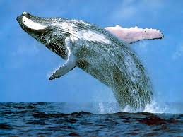 Image result for Whale photos + free