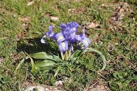 Wide-leaved Iris - Iris planifolia | Wild Flowers of Andalucía ...