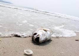 Kết quả hình ảnh cho Cá chết