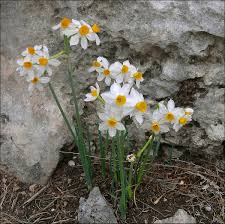 Narcissus tazetta - Wikipedia