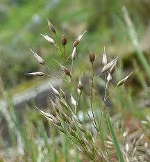 Aira caryophyllea L.