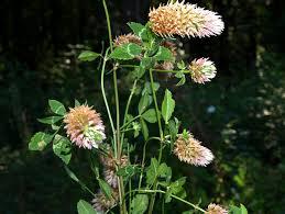 Trifolium mutabile