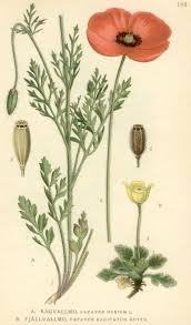 Papaver dubium - Wikipedia