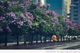 Bằng lăng tím cả chiều mưa… Tôi về bên ấy,tình chưa theo về… Photo : Cao Anh Tuấn. bang lang tim chieu mua Bằng lăng tím cả chiều mưa... Đọc thêm - bang-lang-tim-chieu-mua